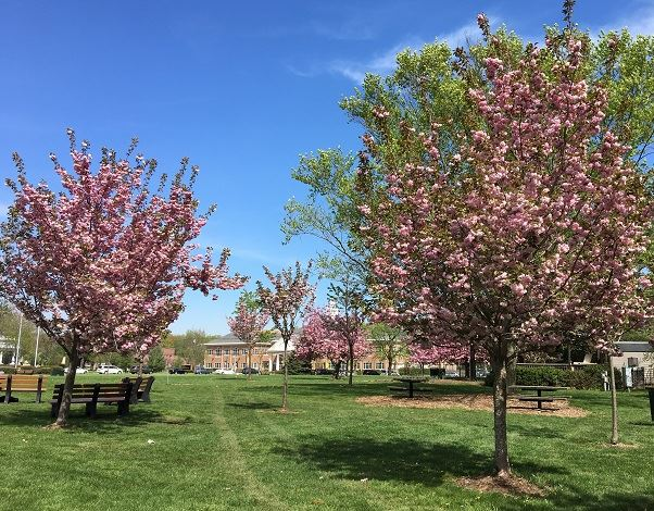 Cherry blossom trees near the Oval, with Town Hall in the background
